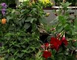 Blüten auf Hochstamm