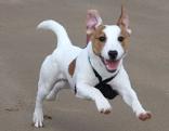 Jack Russel Terrier springt