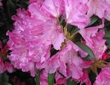 Blumen Rhododendron