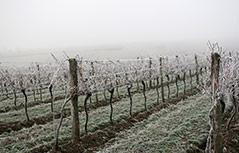 Weinreben im Nebel und Frost