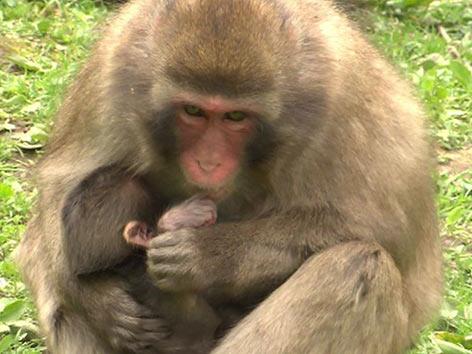 Affe Makaken Primaten Landskron