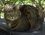 schwarz-braun getigerte Katze zugelaufen