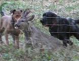 Hunde wildern ein Reh