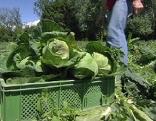 Gemüsebauer Kohl