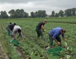 Erntehelfer Feld Gemüse Asylwerber