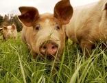 Schwein auf der Weide