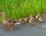 Entenfamilie auf A2