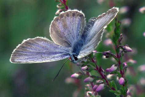 Wenger Moor Schmetterling