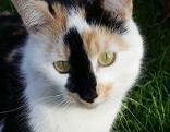 Dreifärbige Katze