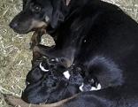 Deutsche Bracke mit Welpen, Hund