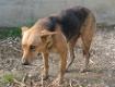 Schäferhundmischling in Angsthaltung