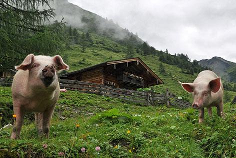 Schweine vor der Schaunbergalm bei Niedernsill
