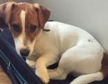 Hund Reise Jack Russell Terrier