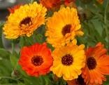orange Ringelblumen