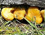 Eierschwammerl Pfiffeling Pilze