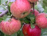 Kraft des Apfels