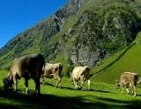 Kühe in Ischgl