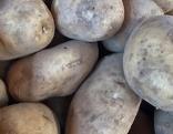 SSC Kartoffeln Godia Kennebec