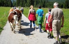 Kühe begegnen Spaziergängern