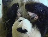 Pandazwillinge und Yang Yang