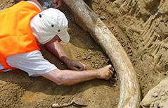 Paläontologen graben einen Stoßzahn aus