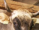 Kuh mit Hörnern Almkuh Vieh Rind Rindvieh