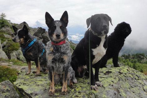 Vier Hunde auf einem Felsen