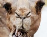 Dromedar Kamel