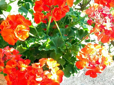 Rože šopek čestitke rumene rdeče voščilo