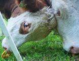 Kalb Kalbinnen Kühe Rinder Viehzucht Vieh Almwirtschaft Almvieh Alm