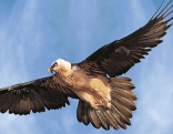 Bartgeier fliegend
