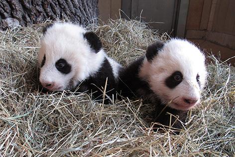 Die Pandazwillinge im Tiergarten Schönbrunn sind am Dienstag, 15. November 2016, 100 Tage alt.