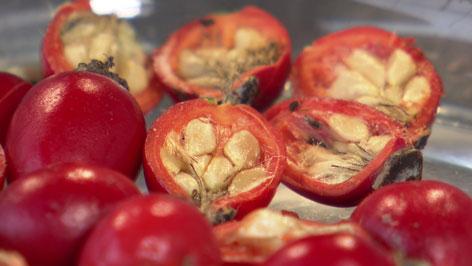 Hagebutten aufgeschnitten mit Frucht