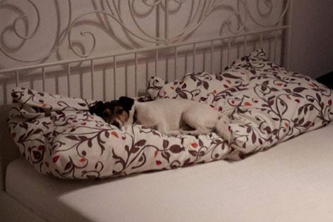 Kleiner Hund liegt auf den Polstern im Bett
