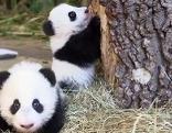 Panda-Zwillinge in Schönbrunn