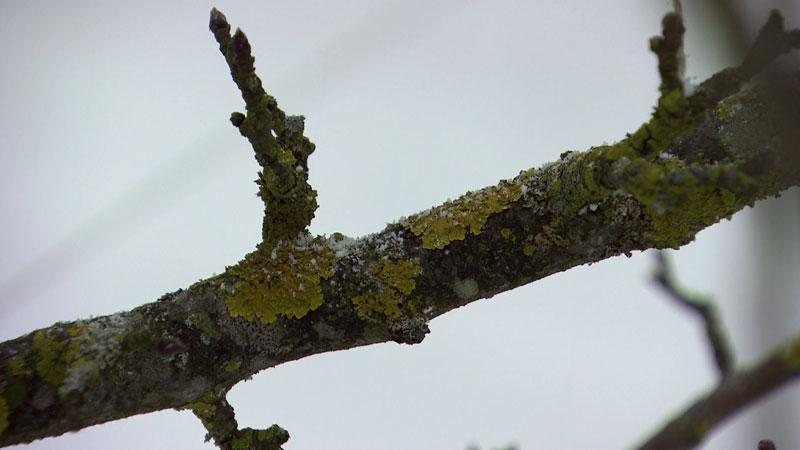 Flechten auf dem Obstbaum