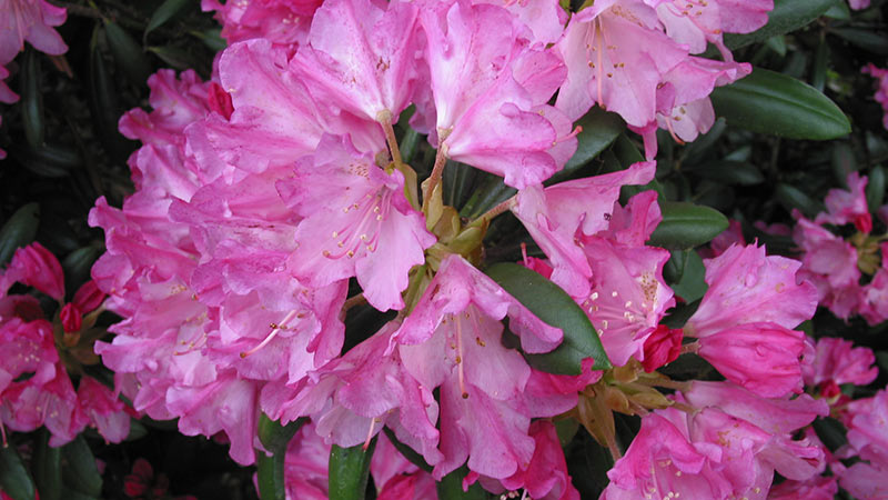 Rhododendron rosa