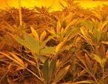 Cannabis Indoor Plantage