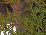 Lebensbaum Thuje