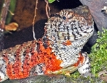 Krokodilschwanzechsen