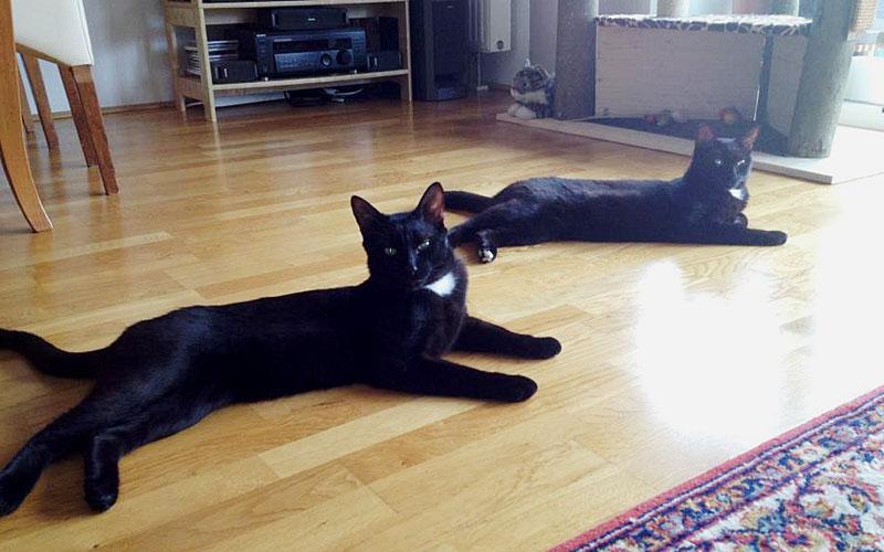 Zwei schwarze Katzen liegen auf dem Parkett in einer Wohnung