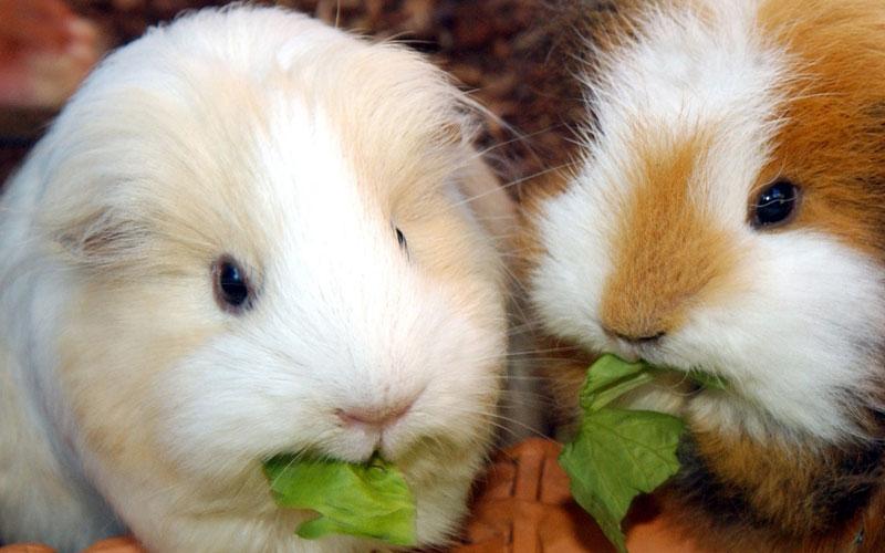 zwei Meerschweinchen knabbern an Grünzeug
