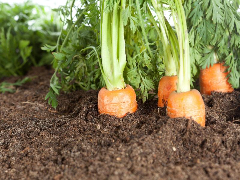 Karottenpflanzen