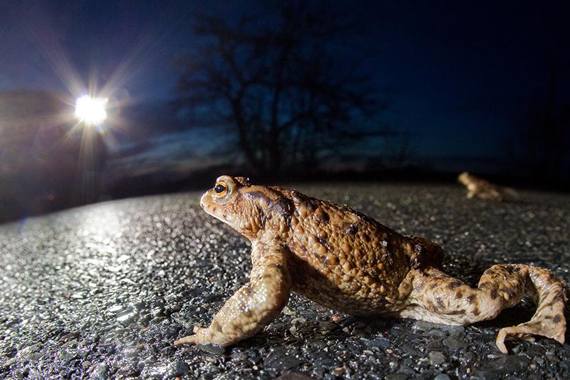 Kröte überquert Straße
