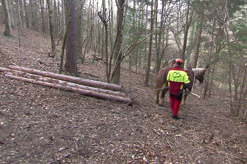 Pferd bei Waldarbeit