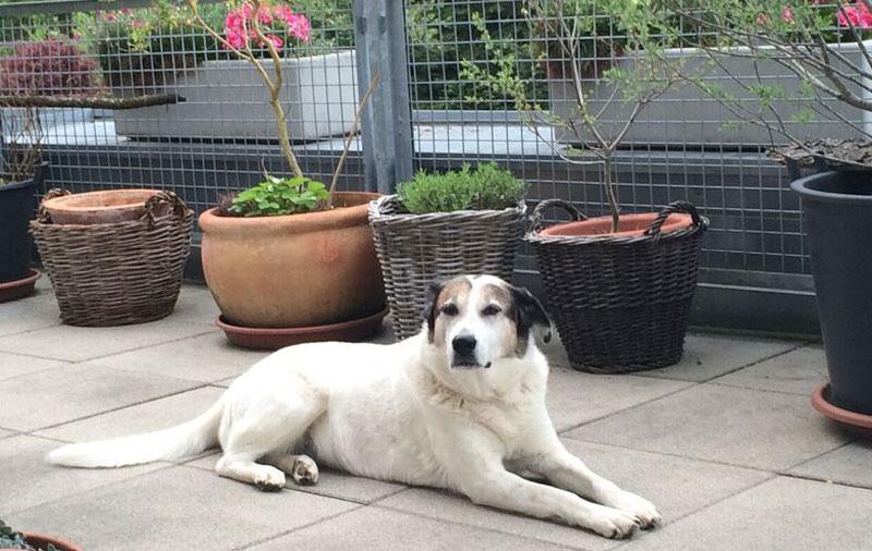 Großer weißer Hund liegt auf einer Terrasse