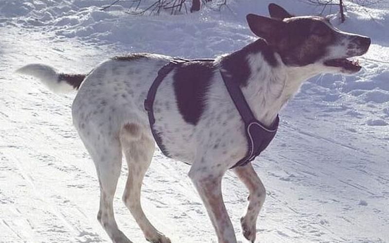 Weiß schwarzer Hund im Schnee