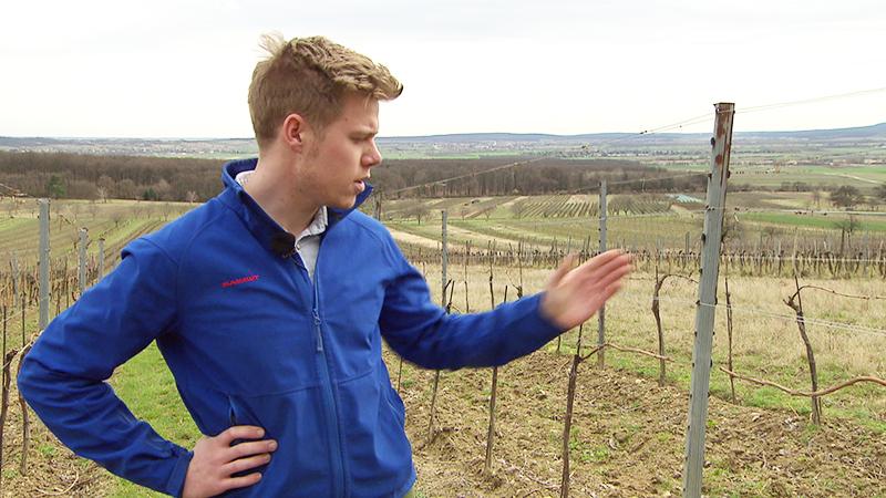Folgeschäden vom Frost für die Winzer Pachinger Wein Bluten