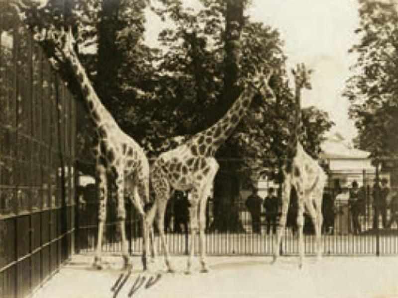 Im Jahr 1828 kam die erste Giraffe nach Schönbrunn