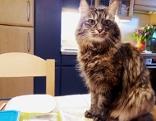 Katze sitzt auf dem gedeckten Tisch
